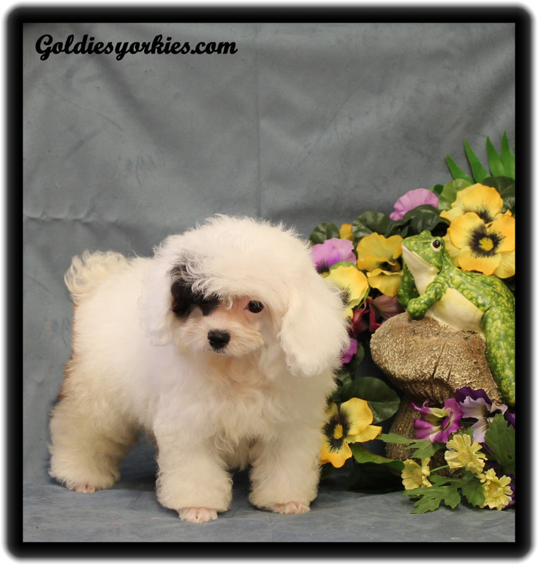 Teacup Poodles for Sale - Goldie's Yorkies & Teacup Poodles