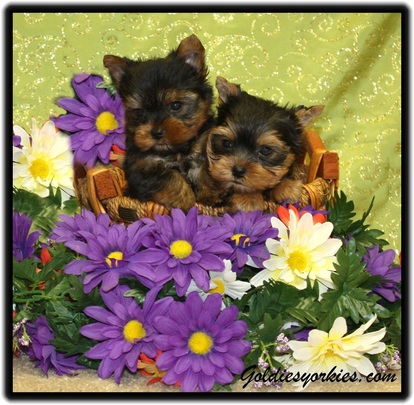 Goldie's Yorkies & Teacup Poodles - Teacup Yorkie Puppies