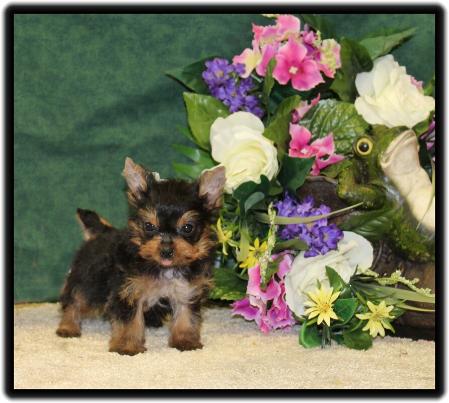 Tiny teacup yorkie puppies for sale in indiana