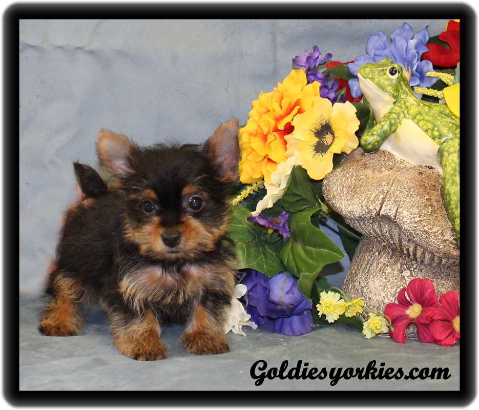 Teacup Yorkie Puppies for Sale - Goldie's Yorkies & Teacup