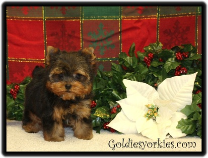 yorkshire terrier puppy for sale
