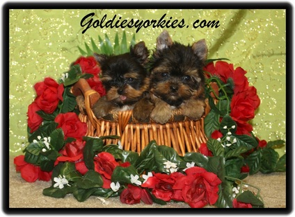 Goldie's Yorkies & Teacup Poodles - Teacup Yorkie Puppies for Sale